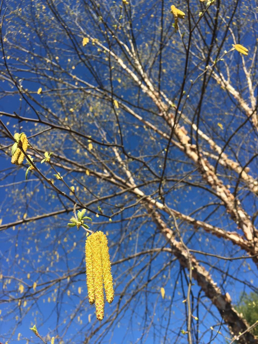 Catkins of Betula nigra Riverbirch