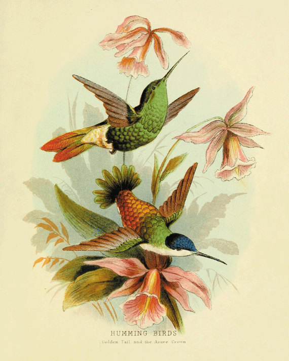 Vintage Illustration of hummingbirds