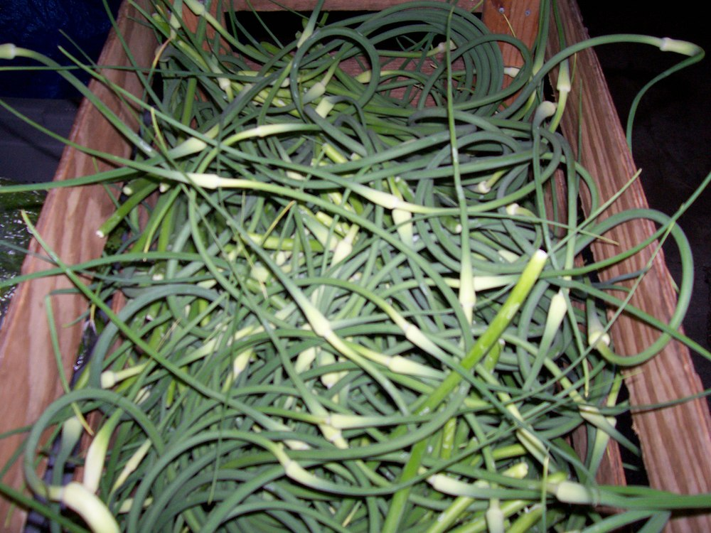 Harvested Scapes