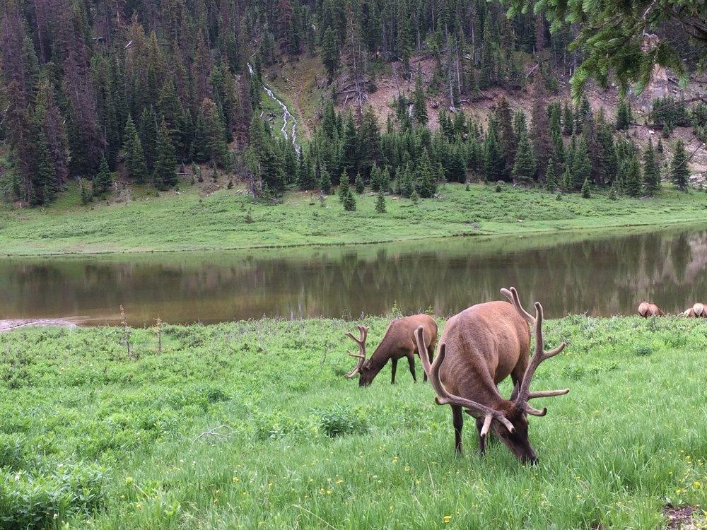Elk herd grazing in Rocky Mountain National Park