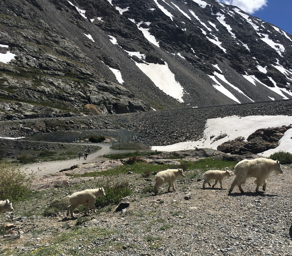 Mountain goats are frequent visitors to the blue lakes area in summer.  Remember to keep a safe distance from wildlife