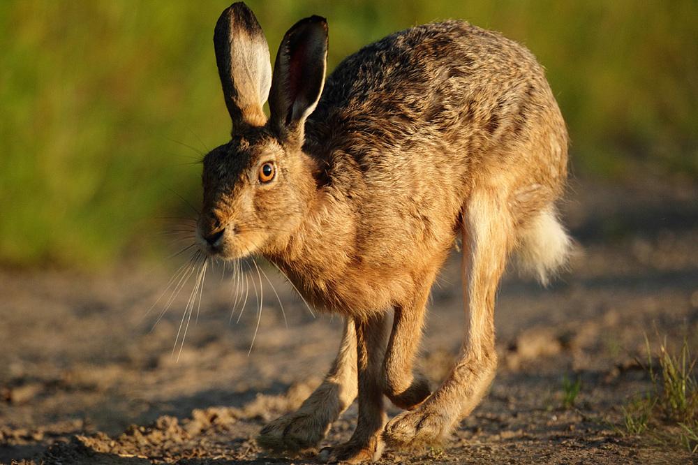 The Beast Hare