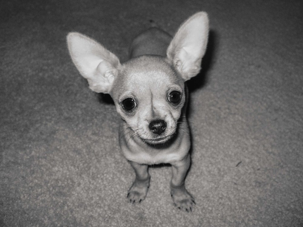 Chihuahua puppy with big ears
