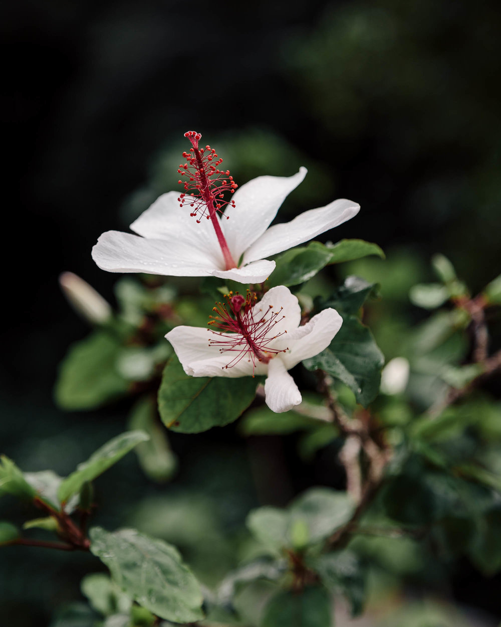 Waimea Valley Botanical Gardens Hibiscus | North Shore Oahu