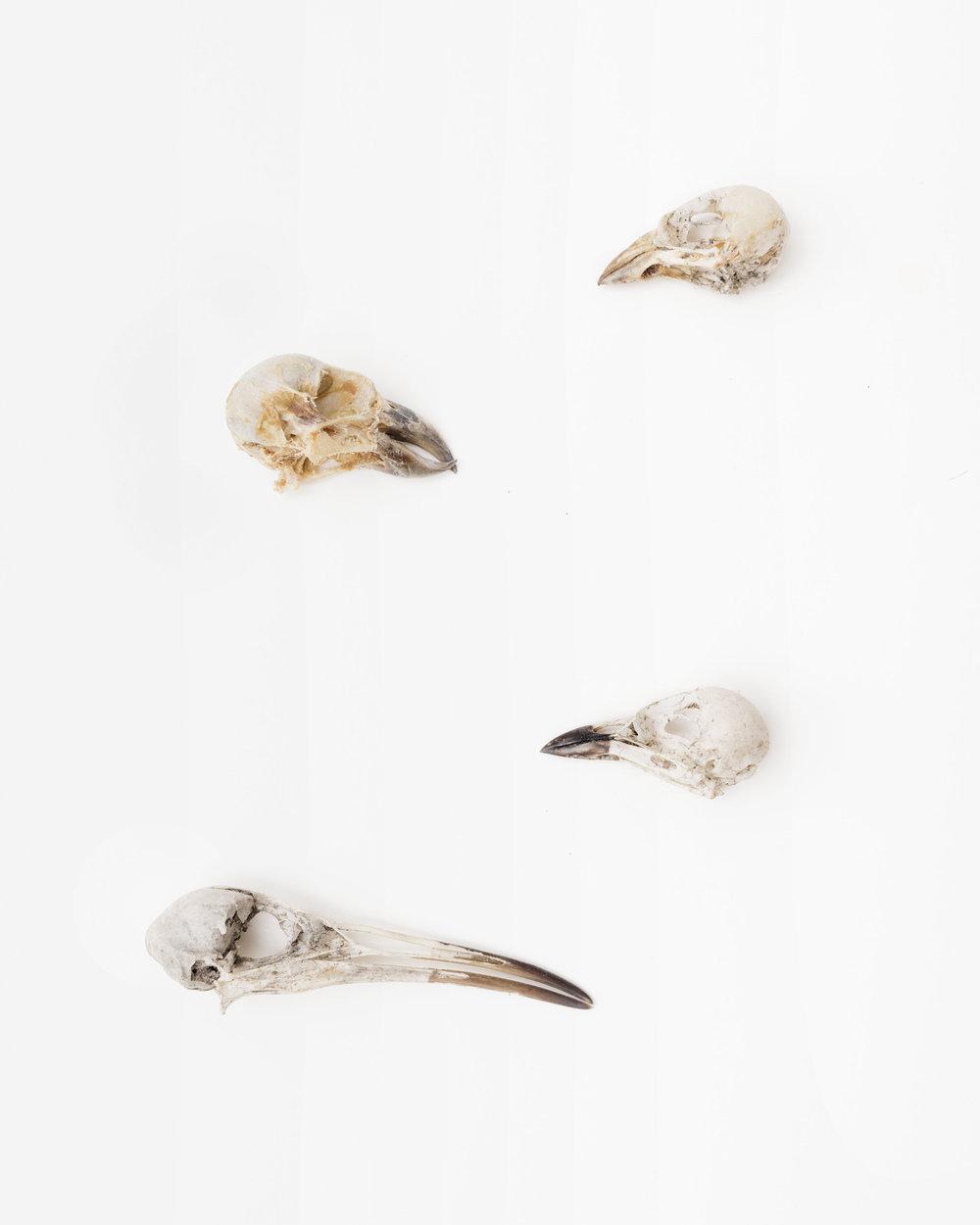Skulls:Bachman's Sparrow (Peucaea aestivalis)Red Crossbill (Loxia curvirostra)Yellow-Breasted Chat (Icteria virens)Virginia Rail (Rallus limicola), Archival inkjet print,14 x 11,$200