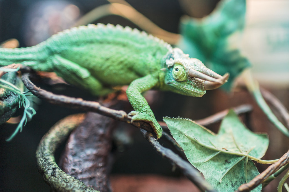 boss-fight-stock-images-photos-free-photography-chameleon-branch.jpg