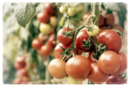 Tomatoes on Vine.jpg