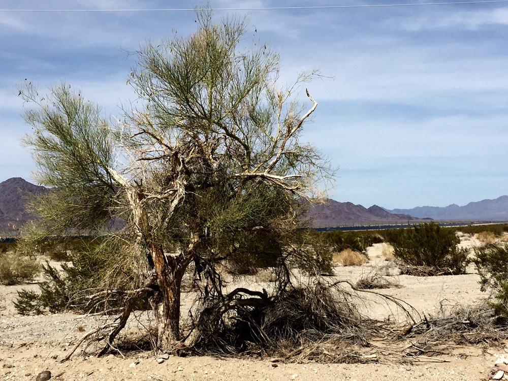 Desert shrub.jpg