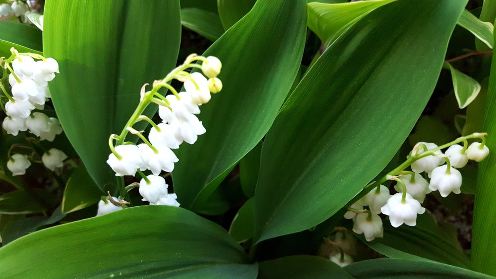 lily of the valley.jpg