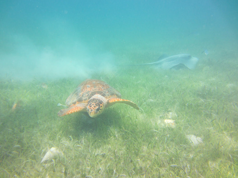 sea turtle and a manta ray!