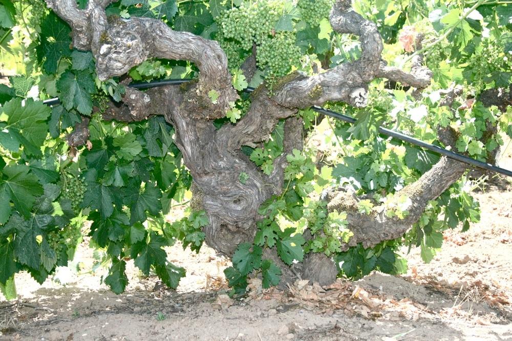 bedrock wide vine.JPG