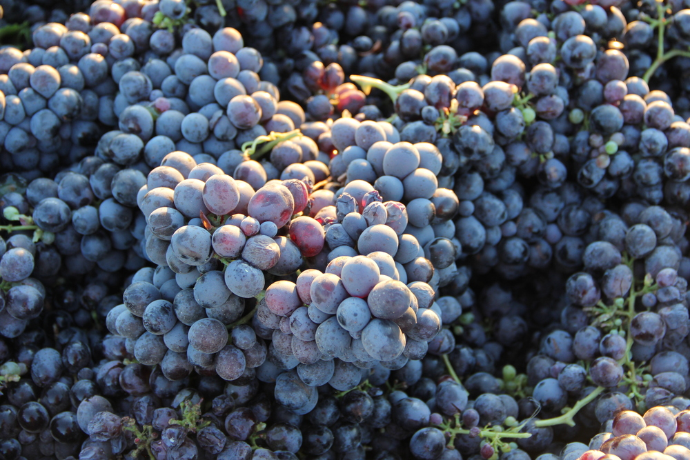 Bechtold Cinsault Grapes