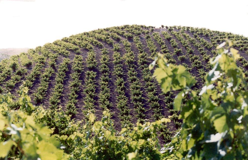 Pesenti Vineyard during the growing season.