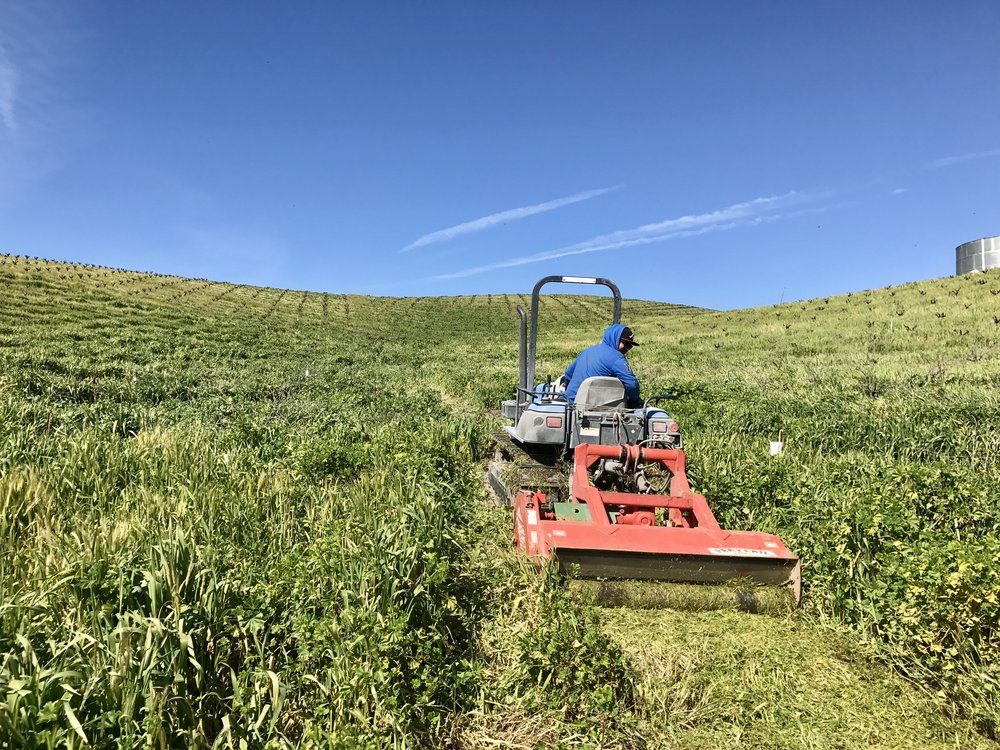 Mowing down the cover crop after a much-needed wet winter.