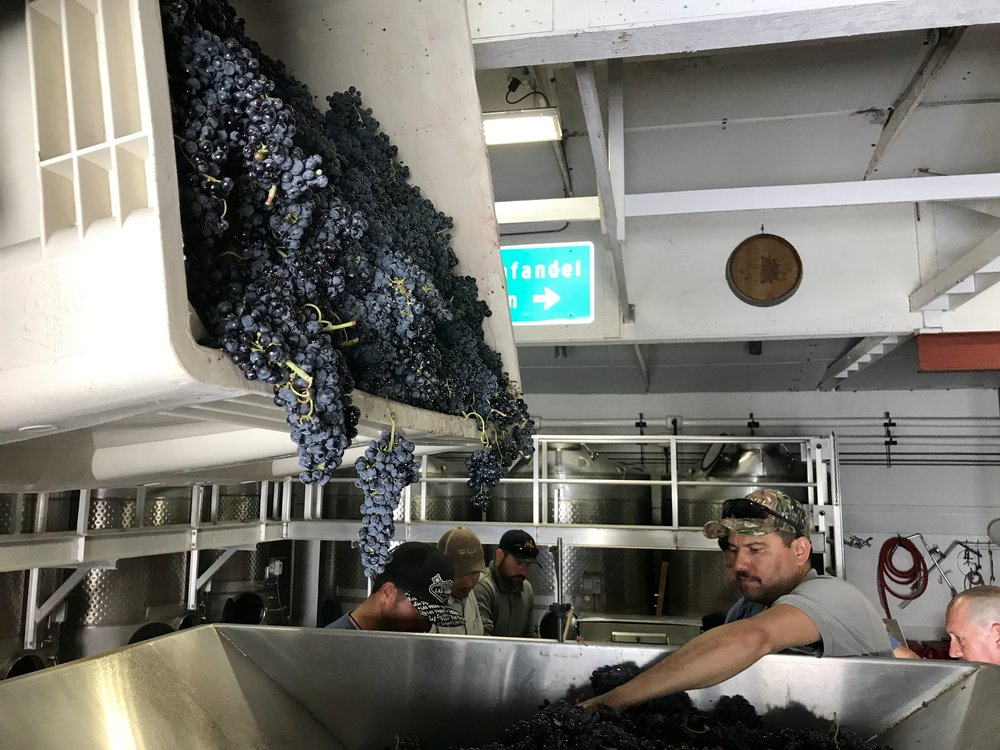 All the grapes are hand-sorted before heading into the destemmer.