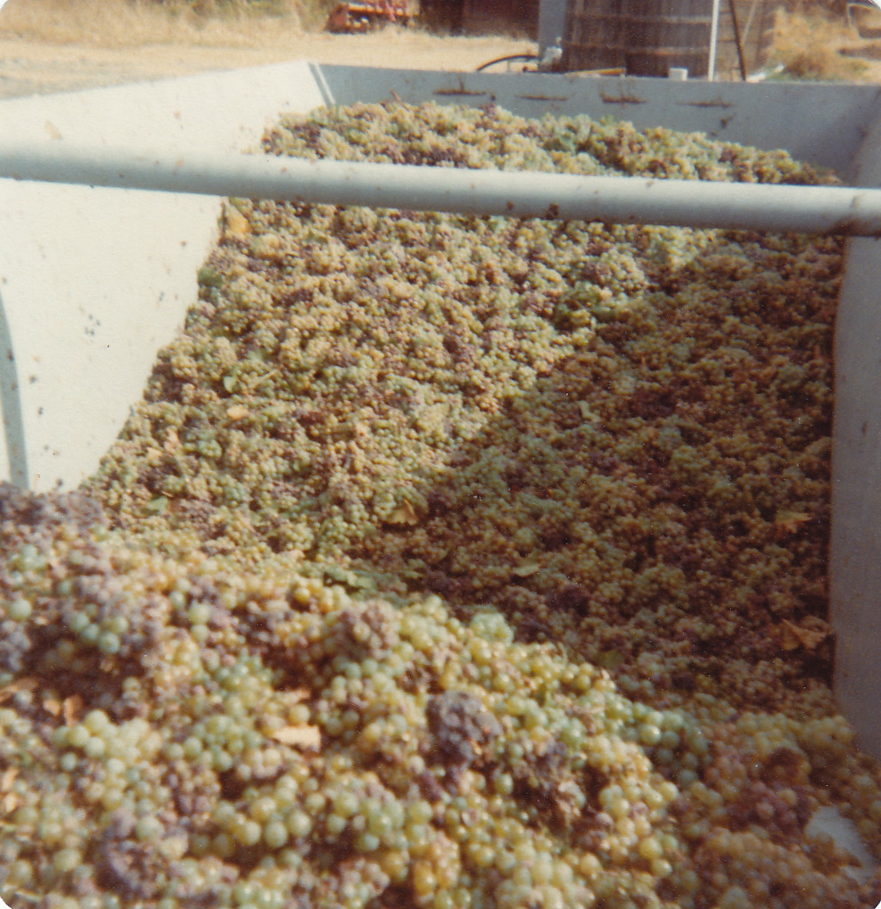 Sauvignon Blanc grapes harvested for Frog's Leap Winery pre-Turley Wine Cellars era.