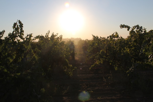 Bectold Vineyard, Lodi.jpeg