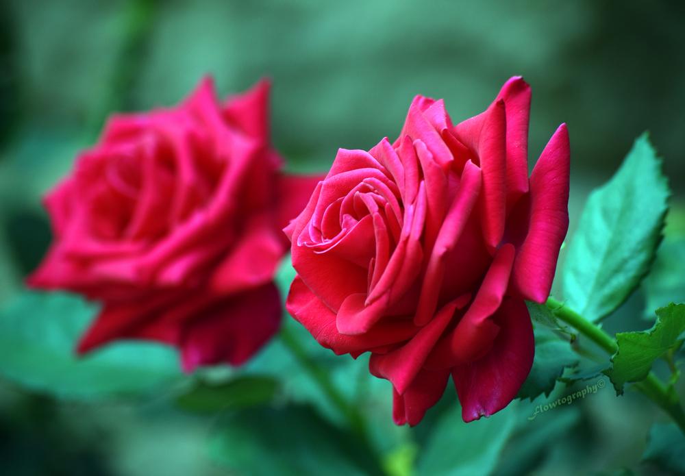 flowerroseee.jpg