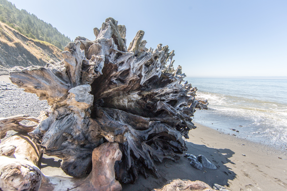 Washed up redwood tree