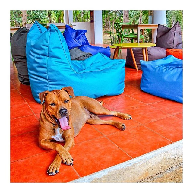 🎂🎈🎉Happy birthday Shiva!🎉🎈🎂 #dayoff for our best chief of security!⭐️ Lots of Love❤️from the #yogabarnpanglao Team and all the students🍖 Half #pitbull half #rottweiler #yogasudio #panglao #bohol #philippines #yogalove #yoga #yogateacher #happybirthday #dog #dogmodel
