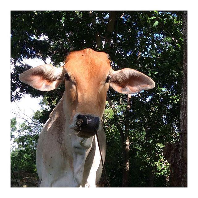 🔅which asana comes first to your mind?🔅 #yoga #asana #barn #panglaoisland #bohol #philippines #tropics #tropical #tropicallife #asana #yogaeverywhere #asanaseverywhere #simplethings #yogapractice #yogastudent #yogalove #yogalove #yogateacher #cow #gomukhasana #marjariasana #bitilasana #happycow #happy #iloveanimals #garden #fun #funny #lifeinthetropics #love #light #afterlight