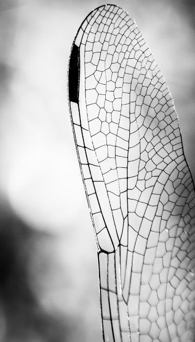 Dragonfly Wing. Paige's Photos.