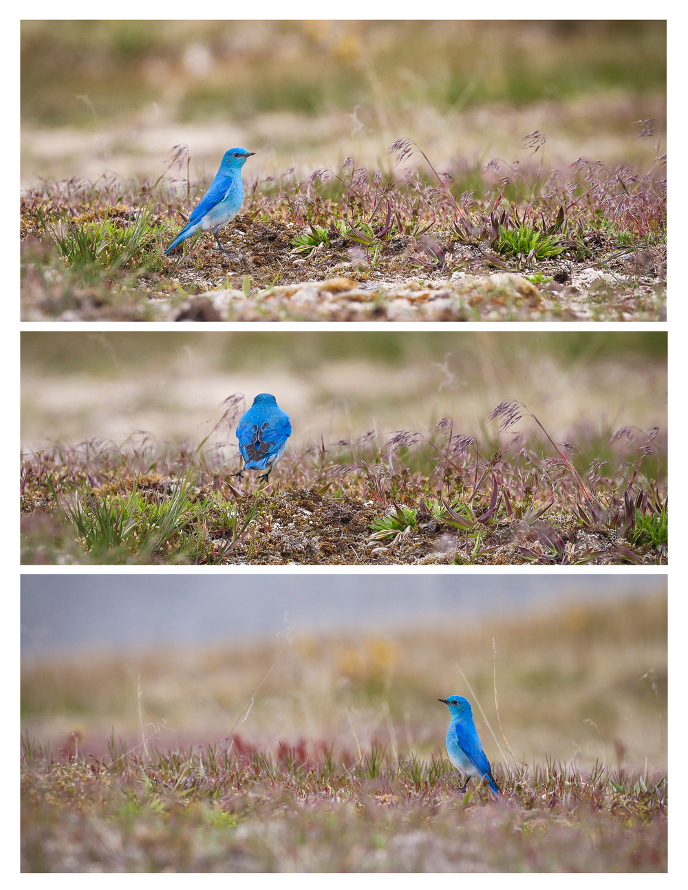 Mountain Bluebird, near Firehole river
