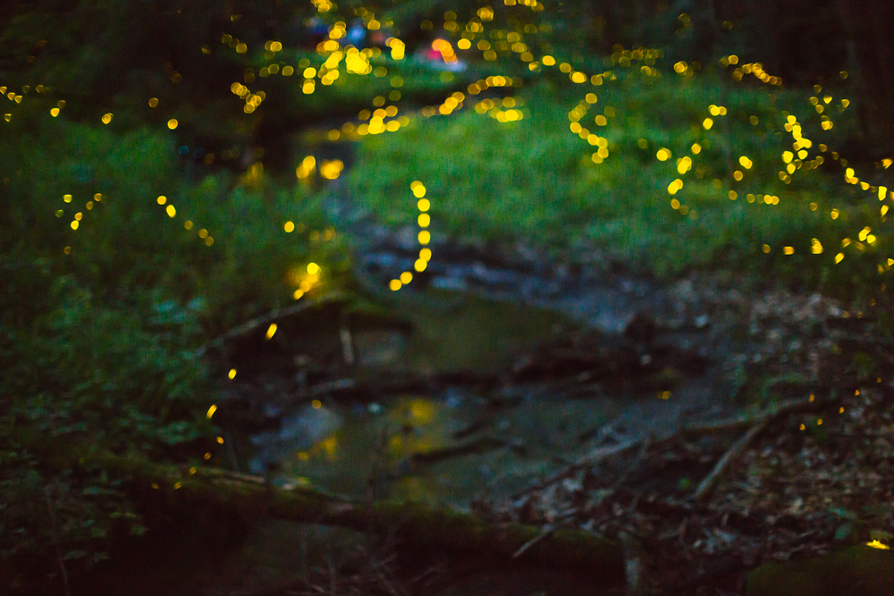 30 second exposure of a small forest clearing during a P. carolinus display event. Shot taken with a Canon 5D Mark III and a 50mm 1.2 lens set at 1.2, ISO 5000.
