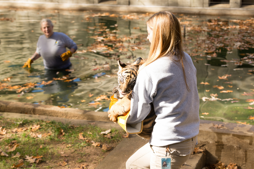 "Biologist Leigh Pitsko and Female Cub Sukacita, in a ""swim test."" Connor Mallon, Smithsonian's National Zoo, Flickr.com"