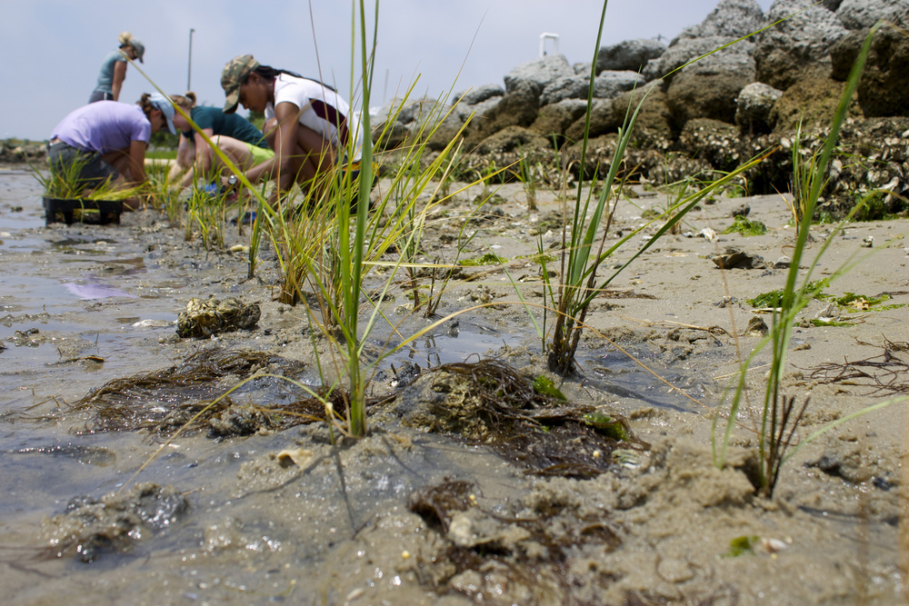 Researchers planting marsh grass seedlings as part of UNC's plan to become carbon neutral. Photo credit: E. Woodward/ UNC Institute of Marine Sciences. Interact with the Institute on Twitter @UNCims.