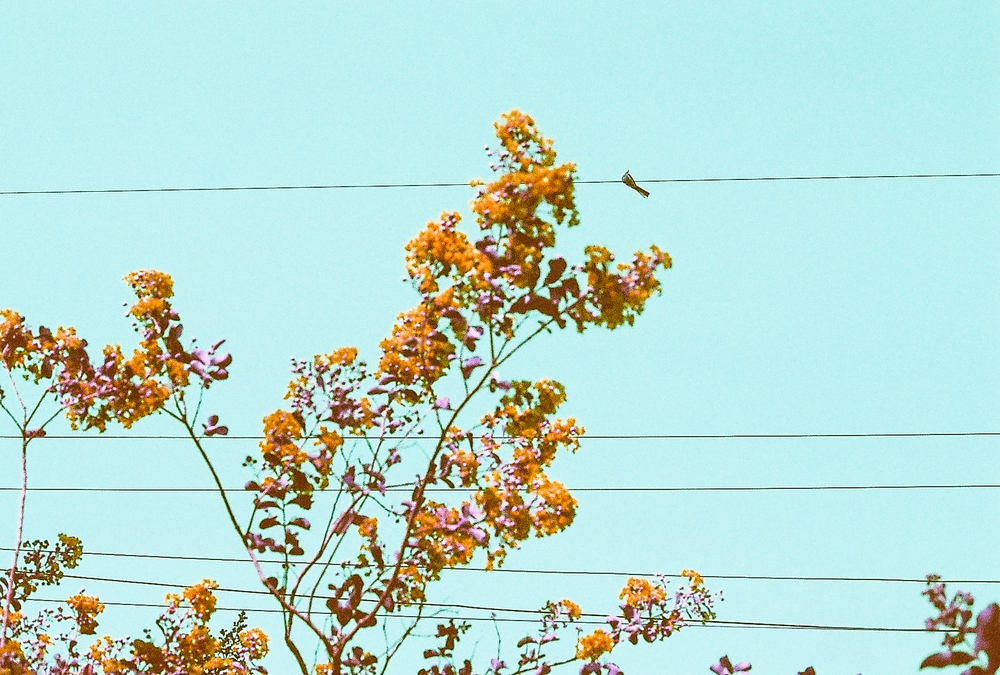 Bird on a wire, with pink crepe myrtle blooms. (C) Paige Jarreau