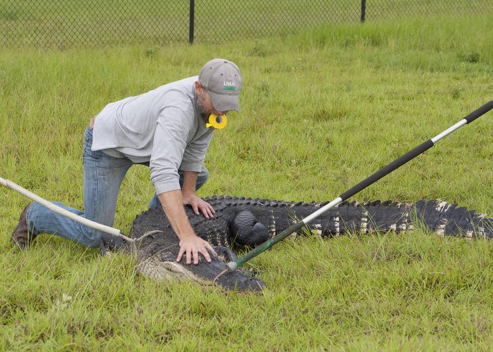 A male biologist traps an alligator for relocation. Image: USDA, Flickr.com.