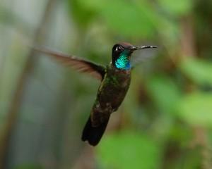 Carol Foil - Flickr.com Magnificent Hummingbird (Eugenes fulgens)