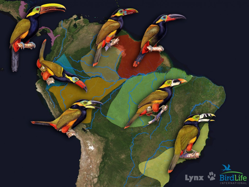 The geographic distributions of species in a lineage of rain forest toucanets are delineated by rivers, mountains, and dry habitats. Bird images courtesy Lynx Edicions (Handbook of the Birds of the World), Barcelona