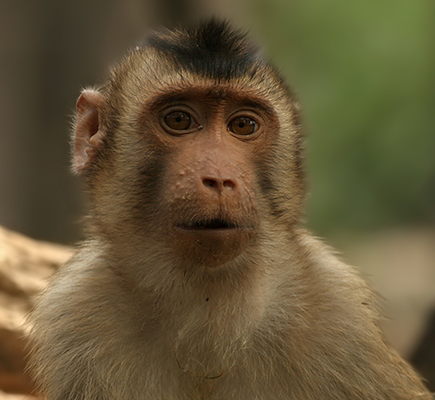 Southern pig-tailed macaque. Image credit Stauss at de.wikipedia.