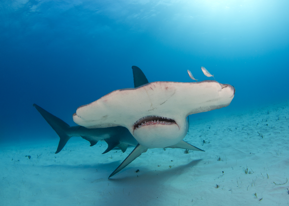 "SciLogs.com blogger Amy McDermott included this photo in one of her blog posts with the caption ""Mean muggin'– hammerheads have a face made for hunting. Shutterstock: http://ow.ly/zjYrn"""