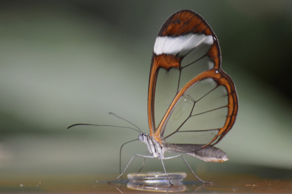 Glasswinged butterfly. Credit:  Alias 0591 , via Flickr.com