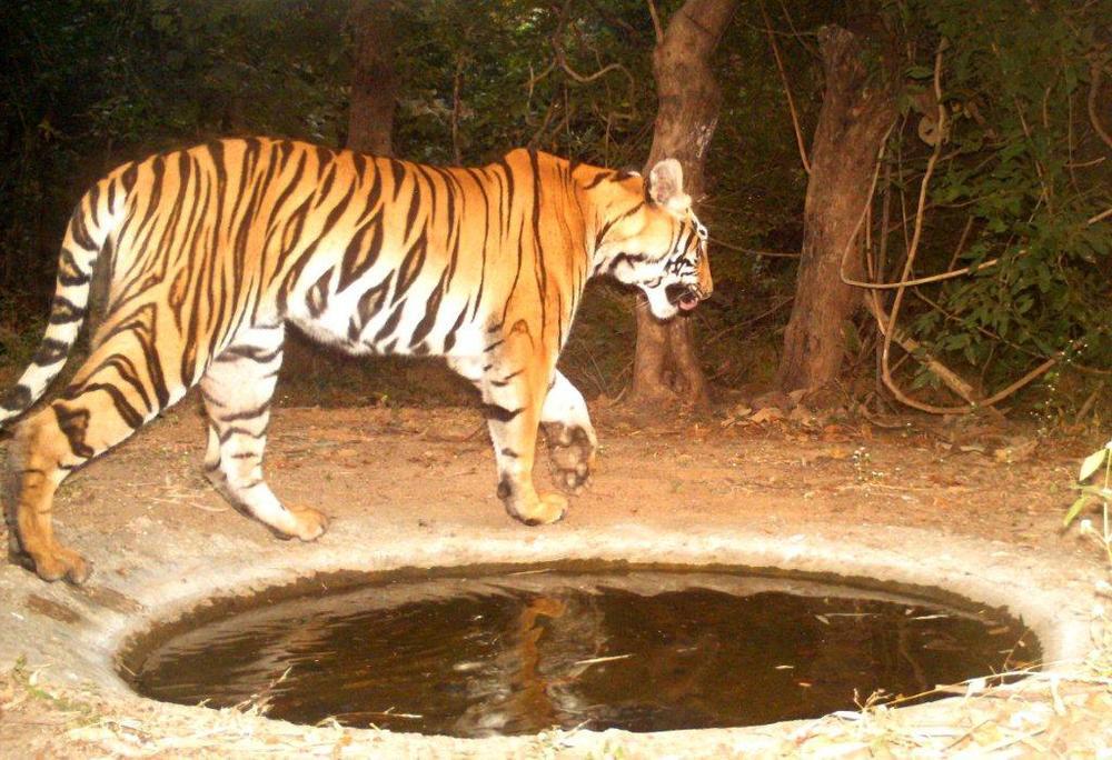 dec 13 tiger.jpg