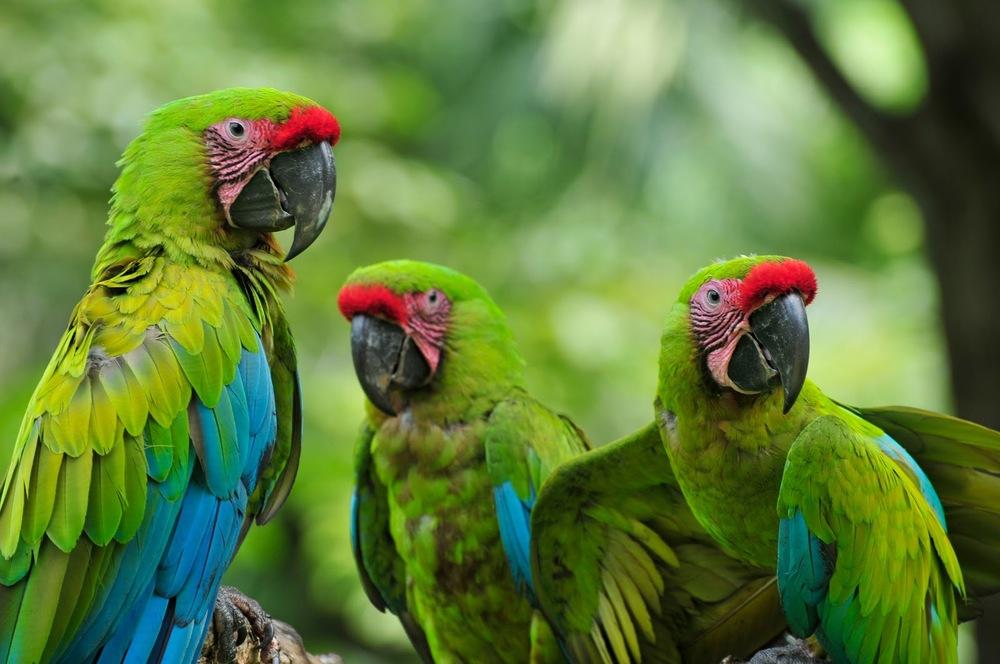 Great-Green-Macaw.jpg