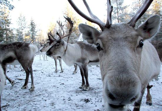 reindeer-rovaniemi.JPG