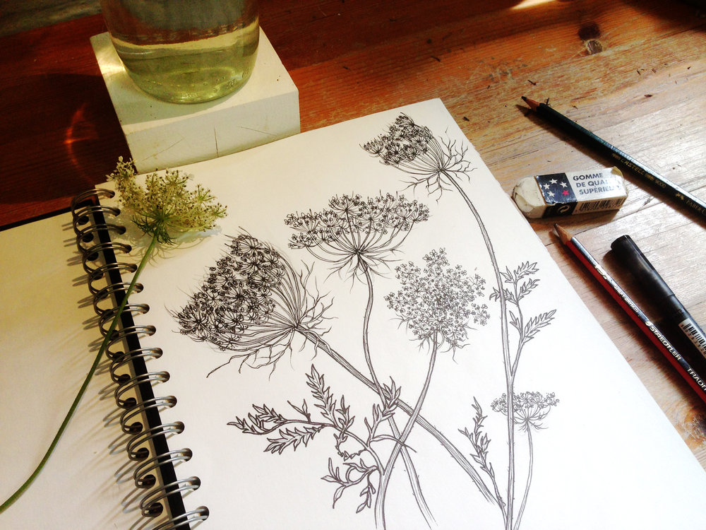 Drawing Cowparsley
