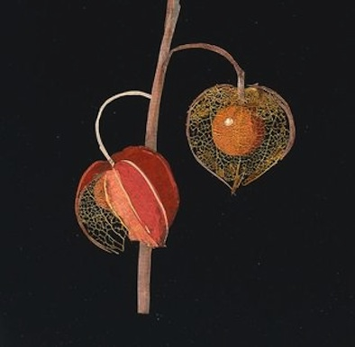Detail from Mary Delany's Physalis, Winter Cherry.  Courtesy of the British Museum.