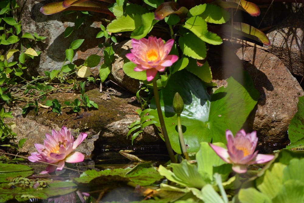 A water lily in our peaceful koi pond.