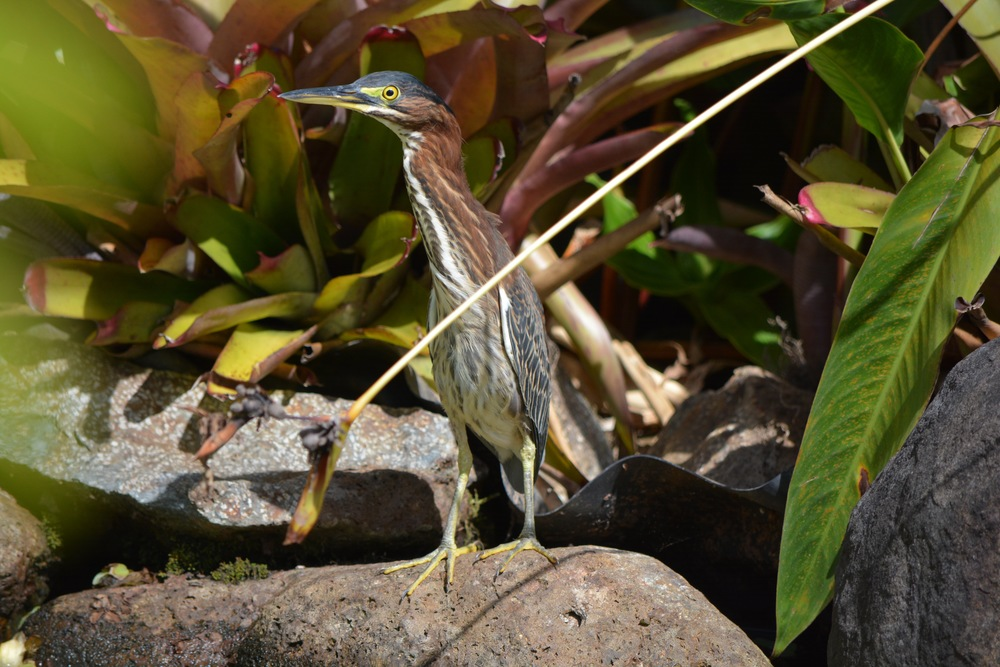 If you sit beside our koi pond long enough, you just might get a visit from this friendly fellow -- Our Resident  Green Heron .