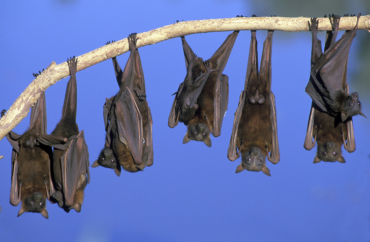 "Bats are important predators of mosquitoes in the jungle Photo courtesy of ""The Architecture of Mosquito Control"" (http://emhughes.com/arbitrary/mosquitoes/)"