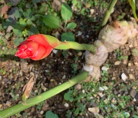 This new, flowering stalk grows from a ginger root.