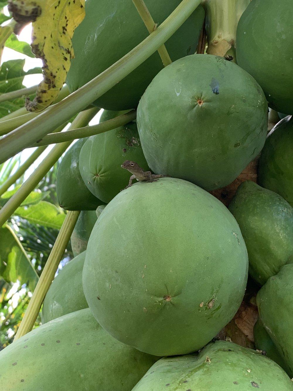 A friendly lizard hangs out on a papaya as they wait to get ripe.
