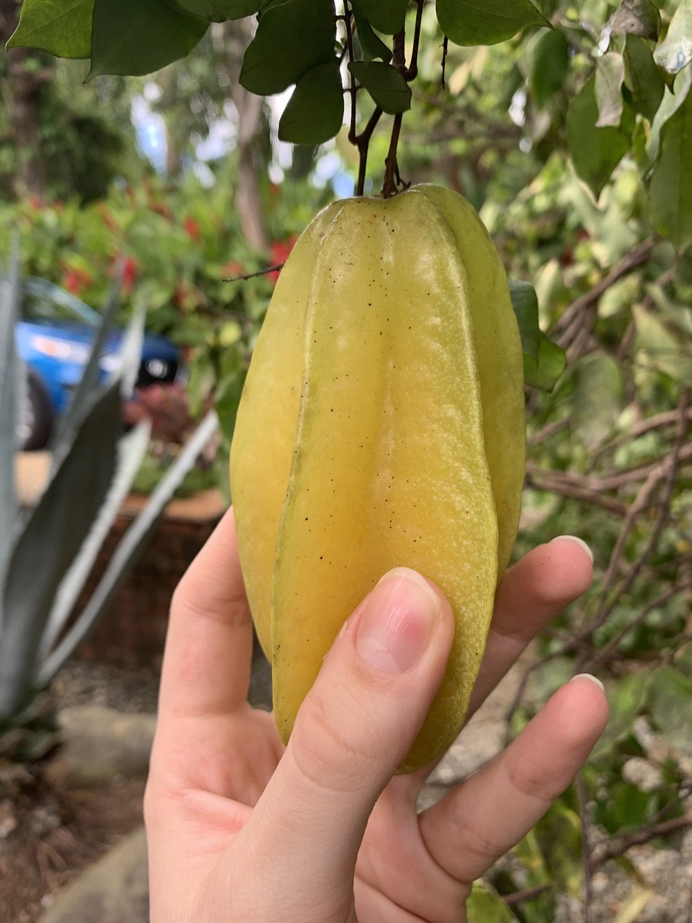 Checking to see how ripe a star fruit is.