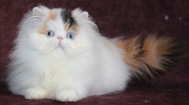 Steamboat Cattery--Milord Olenka of Steamboat