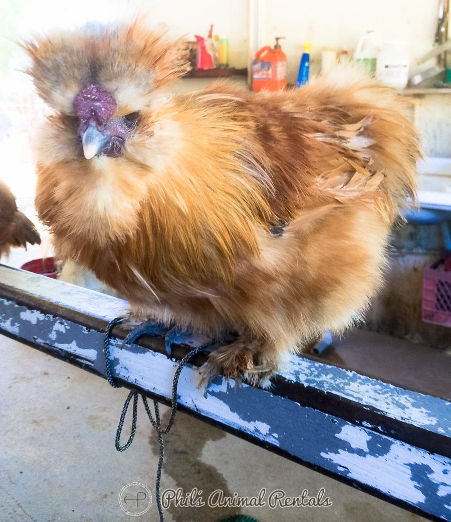 chickenNewPIcs012396.JPG